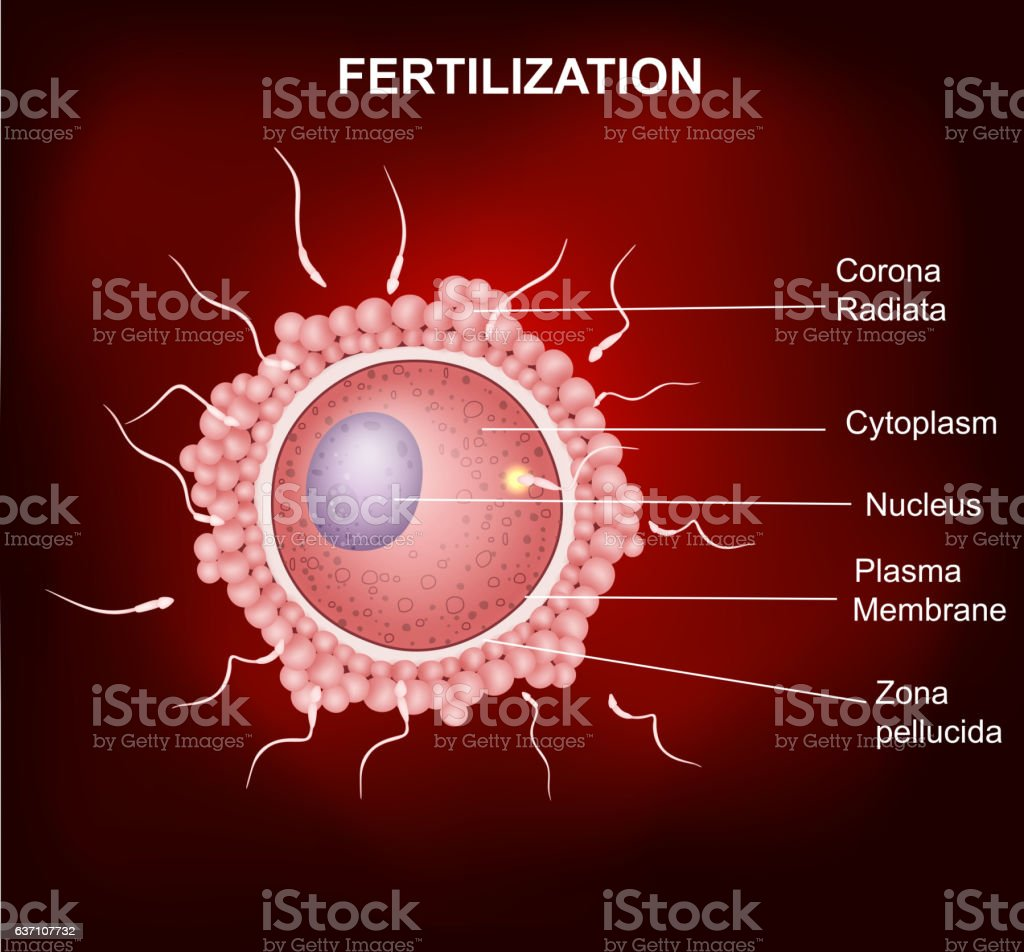 Human Fertilization And Insemination Of Human Egg Cell By Sperm Cell ...