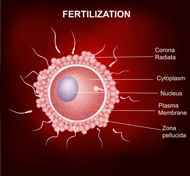 human fertilization and insemination of human egg cell by sperm cell - eizelle stock-grafiken, -clipart, -cartoons und -symbole