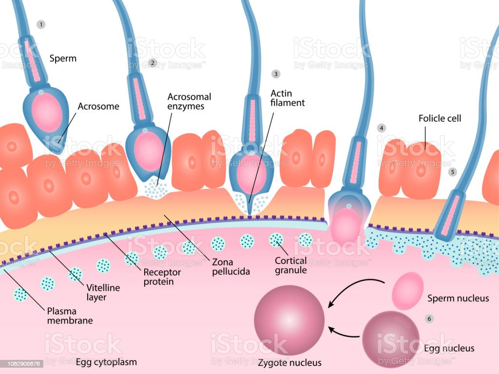 what is the meaning of fertilization in humans
