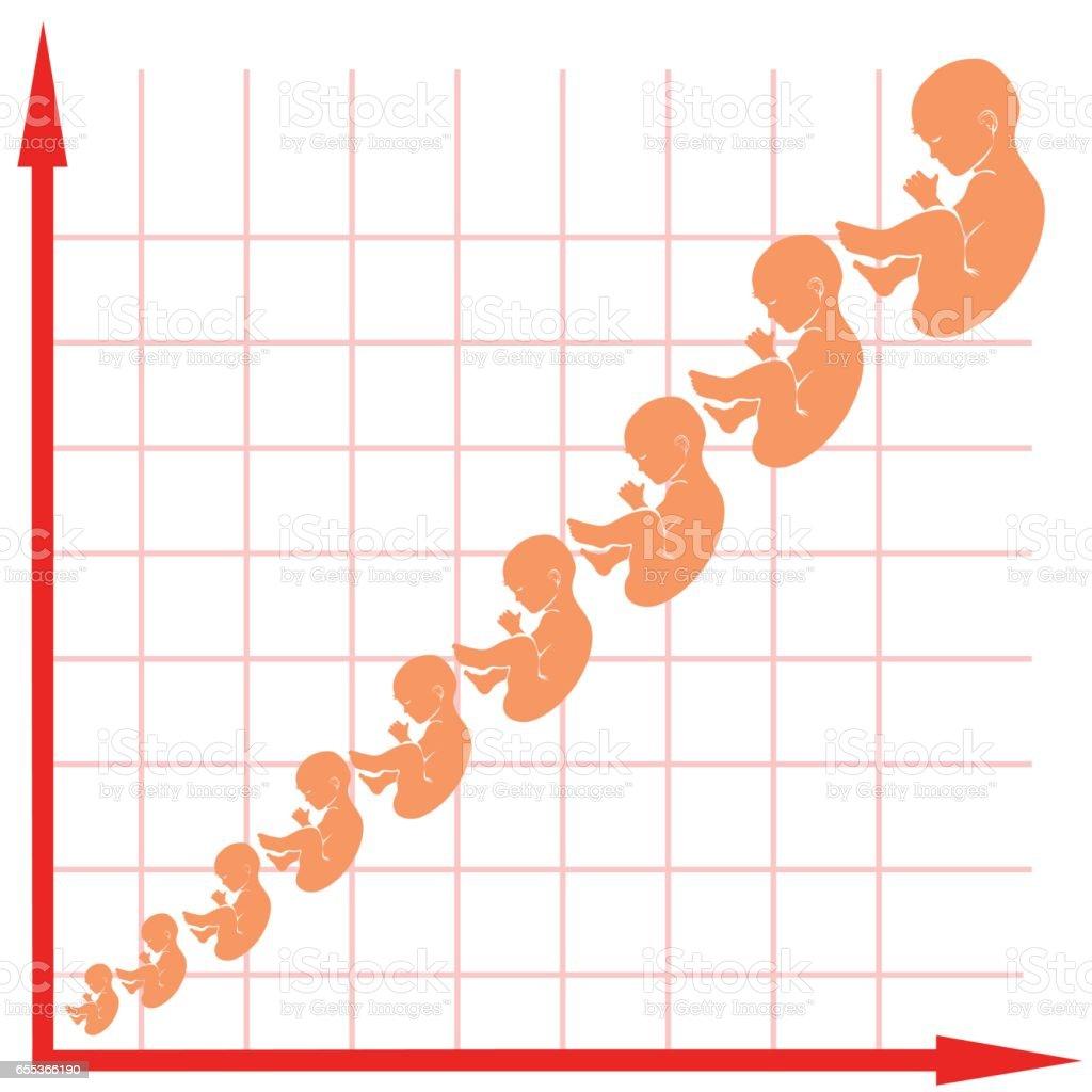 Menschlichen Fötus Wachstumskurve Stock Vektor Art und mehr Bilder ...