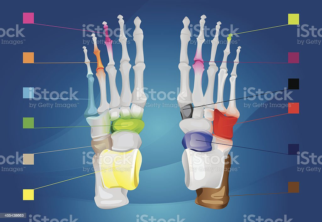 Human foot anatomy royalty-free human foot anatomy stock vector art & more images of anatomy