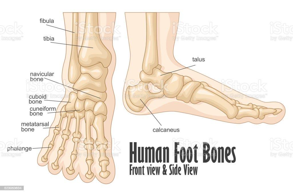 Menschlicher Fuß Knochen Vorder Und Seitenansicht Anatomie Stock ...