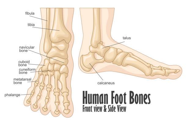 Royalty Free Foot Bone Clip Art, Vector Images & Illustrations - iStock