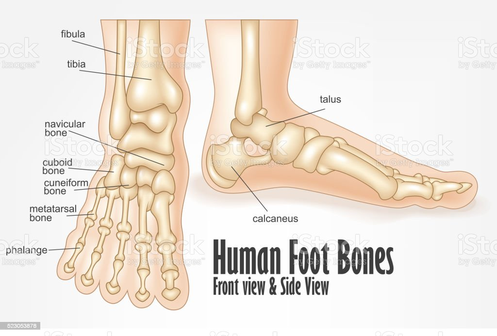 Human Foot Bones Front And Side View Anatomy Stock Vector Art & More ...