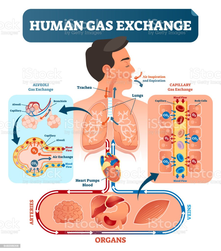 Human gas exchange system vector illustration oxygen travel from human gas exchange system vector illustration oxygen travel from lungs to heart to all ccuart Gallery