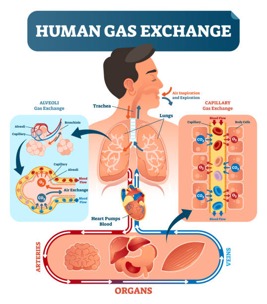 Human gas exchange system vector illustration. Oxygen travel from lungs to heart, to all body cells and back to lungs as CO2. Human gas exchange system vector illustration. Oxygen travel from lungs to heart, to all body cells and back to lungs as CO2. Red blood cells transporting oxygen from alveoli capillary to all organs. alveolus stock illustrations