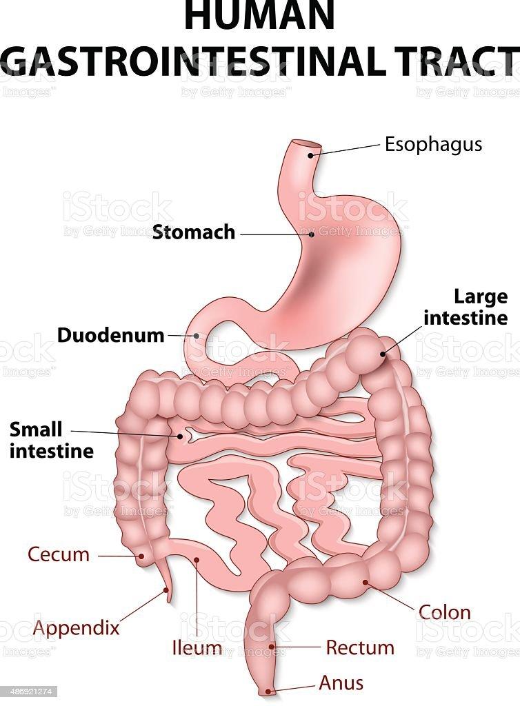 Ilustración de Tracto Gastrointestinal Humano y más banco de ...