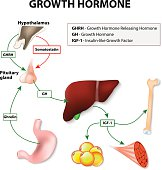 Growth hormone (GH) or somatotropin secreted by the pituitary gland. Growth hormone-releasing hormone (GHRH) stimulates anterior pituitary gland to release GH. The target of Growth hormone