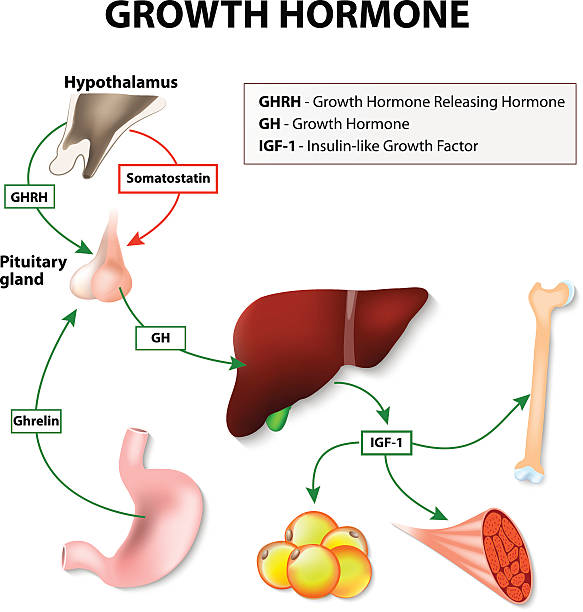 Human Growth Hormone Growth hormone (GH) or somatotropin secreted by the pituitary gland. Growth hormone-releasing hormone (GHRH) stimulates anterior pituitary gland to release GH. The target of Growth hormone hormone stock illustrations