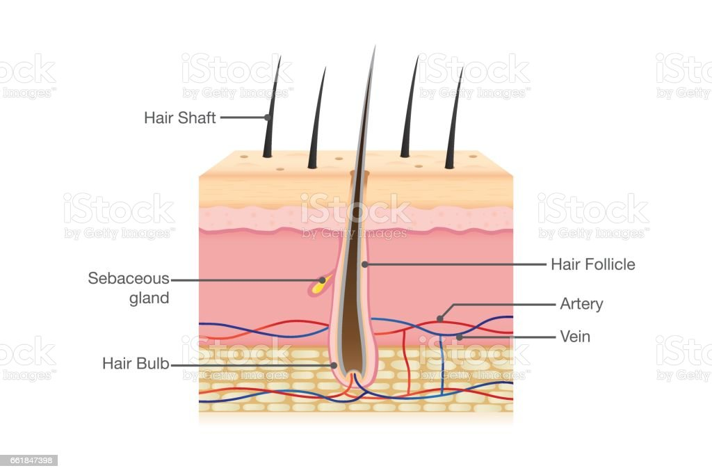 Human Hair Anatomy Stock Vector Art & More Images of Anatomy ...