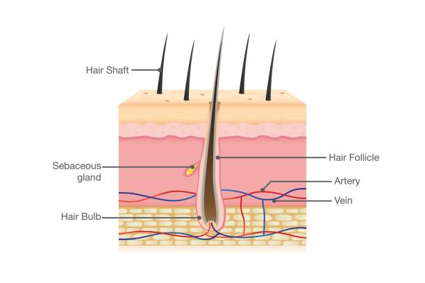 Human Hair Anatomy Human Hair Anatomy on isolated. Illustration about Physiology. root hair stock illustrations