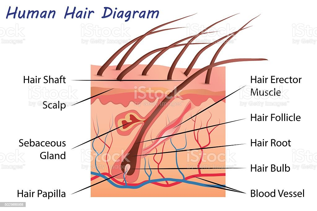 Human Hair Diagram Stock Vector Art More Images Of 2015 502966568