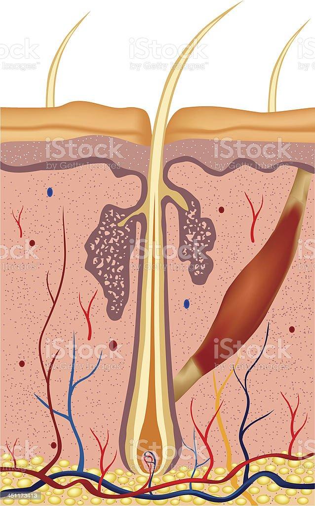 Menschliches Haar Struktur Anatomie Abbildung Vektor Stock Vektor ...