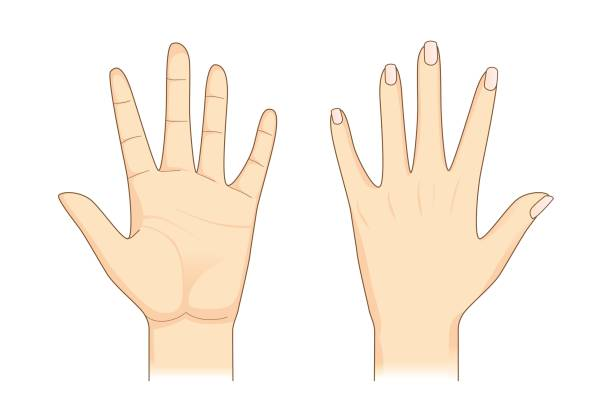 human hand in front and back side. - dłoń stock illustrations