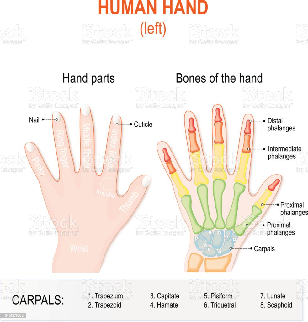 Human Hand Parts And Bones Stock Vector Art & More Images of Anatomy ...