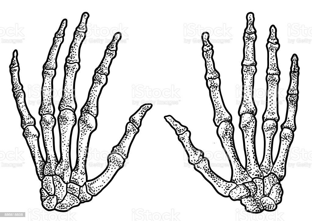 Ilustración de Ilustración Esqueleto De La Mano Humana Dibujo ...