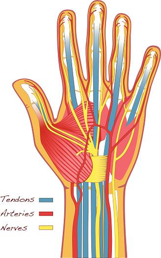 Human Hands Anatomy