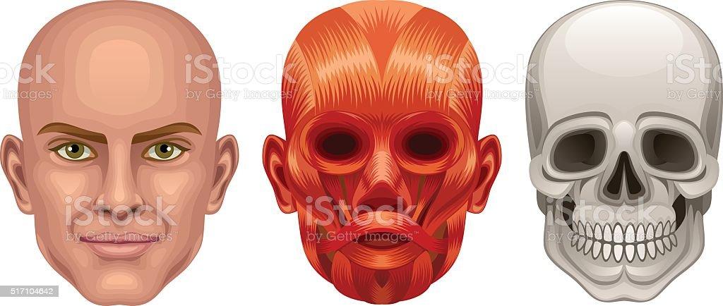 Human head anatomy vector art illustration