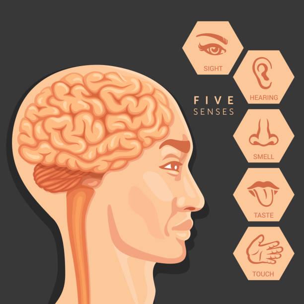 menschlicher kopf und sinneswahrnehmung - sensorischer impuls stock-grafiken, -clipart, -cartoons und -symbole