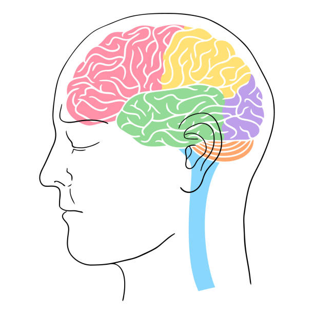 Human head outline with brain Simplified vector illustration of a human brain with the main parts shown in different colors: frontal lobe, parietal lobe, occipital lobe, temporal lobe, cerebellum, and spinal cord. temporal lobe stock illustrations
