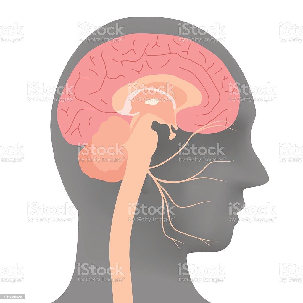 human head silhouette and facial nerve, vector illustration vector art illustration