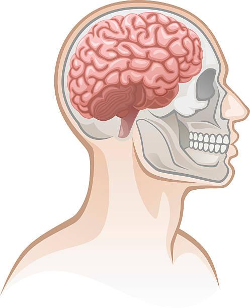 Human head Human head on a white background human jaw bone stock illustrations