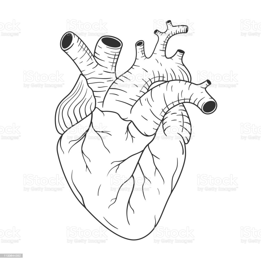Human Heart Anatomically Correct Hand Drawn Line Art Black And White Sketch Vector Stock Illustration Download Image Now Istock