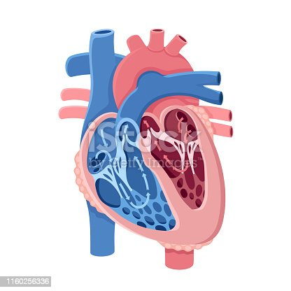 Human heart and blood flow.