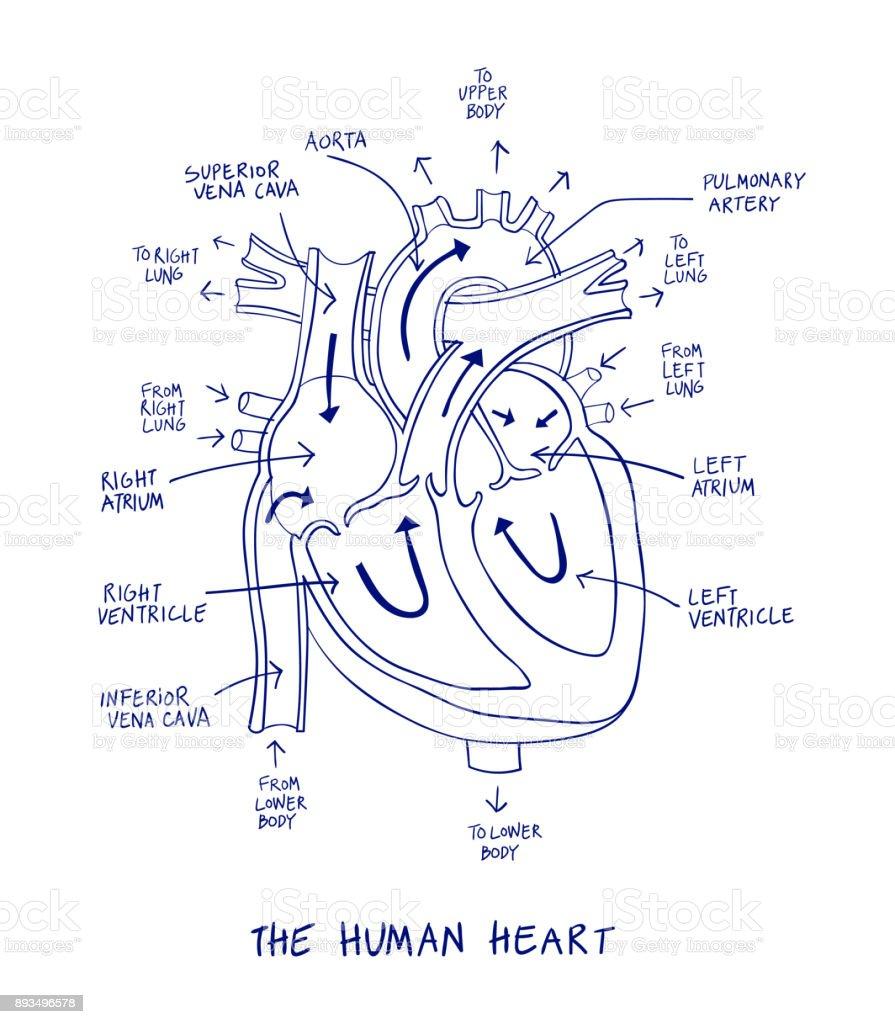 Human heart anatomy diagram. Blue line on a white background. vector art illustration