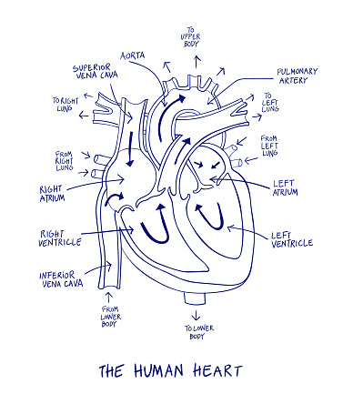 Human Heart Anatomy Diagram Blue Line On A White ...