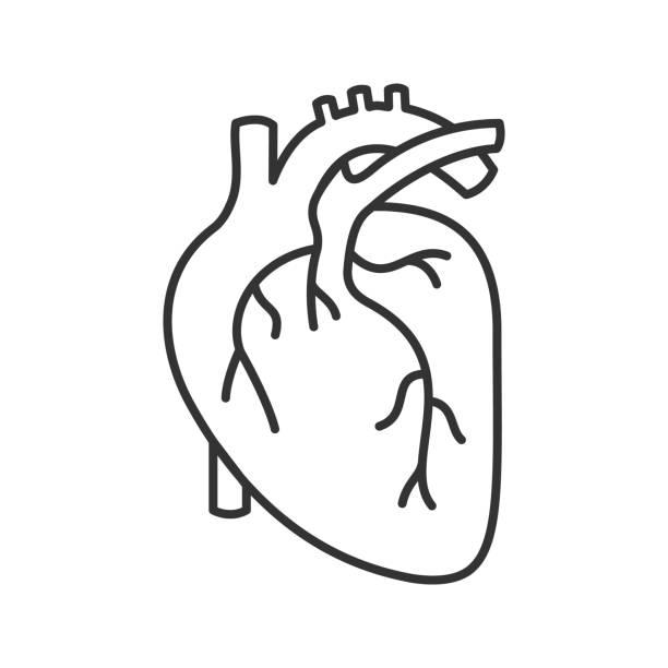 ilustraciones, imágenes clip art, dibujos animados e iconos de stock de icono de anatomía del corazón humano - biología