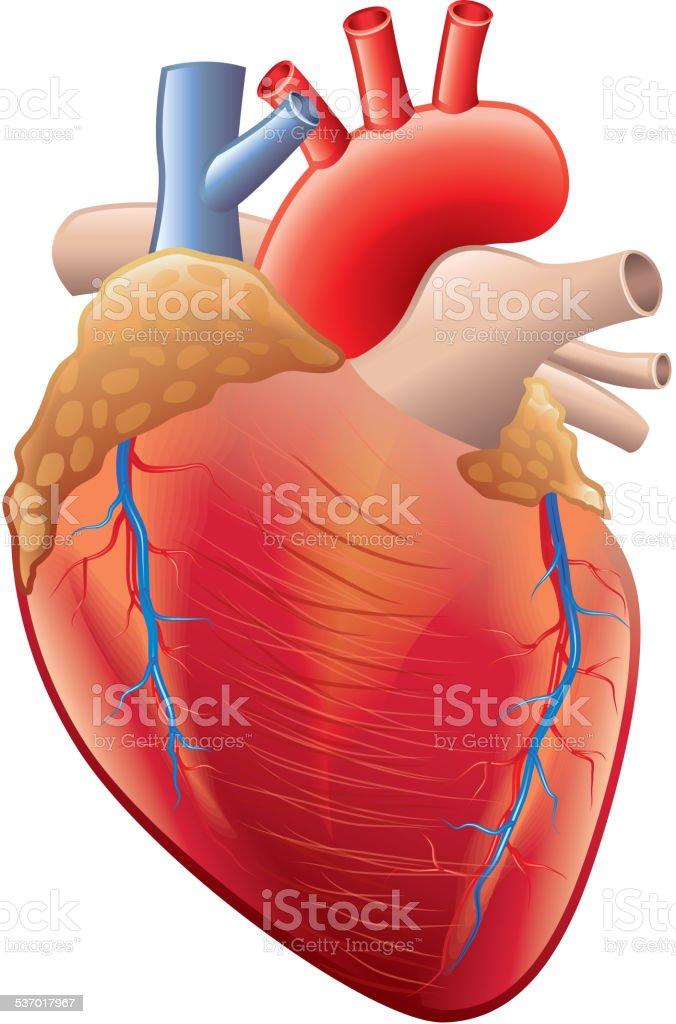 Human heart anatomy isolated on white vector vector art illustration