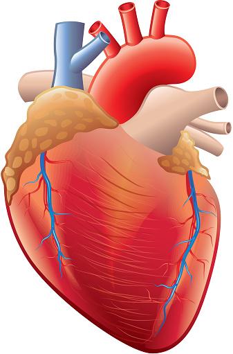 Human Heart Anatomy Isolated On White Vector Stock ...