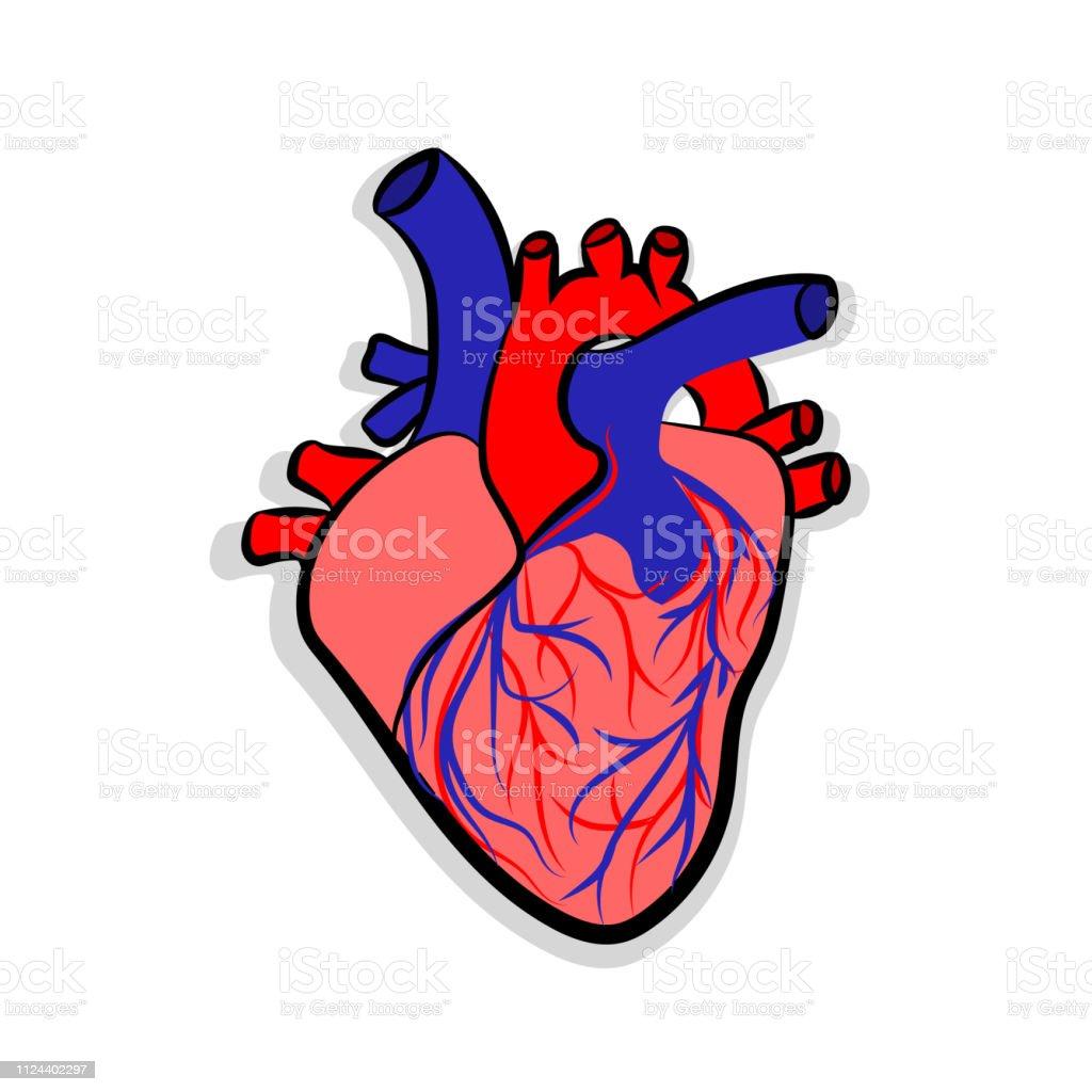 Human heart anatomy. Human heart anatomically correct hand drawn line...