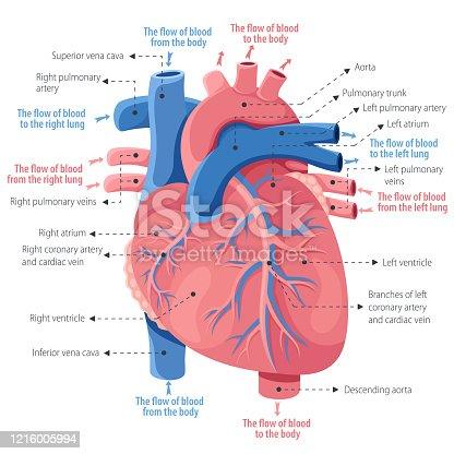 istock Human heart anatomy 1216005994