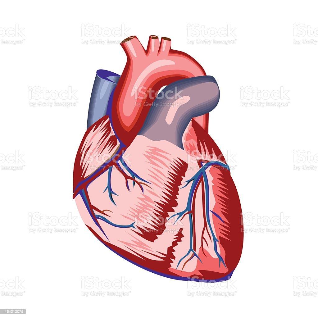 Menschliches Herz Anatomie Stock Vektor Art und mehr Bilder von 2015 ...