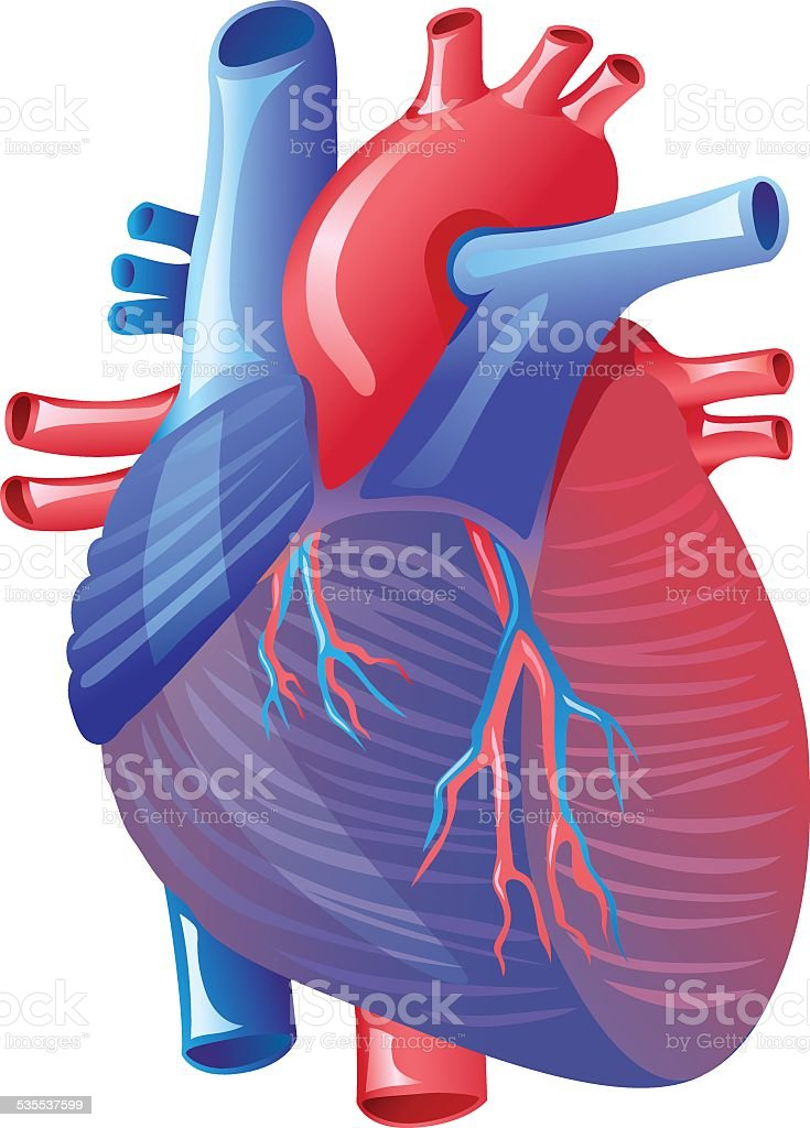 Human Heart Anatomy Stock Vector Art & More Images of 2015 535537599 ...