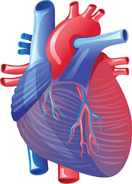 Best Heart Valve Illustrations, Royalty-Free Vector ...