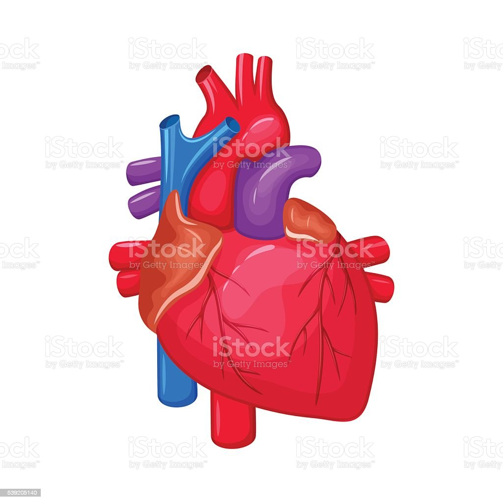 Human Heart Anatomy stock vector art 539205140 | iStock