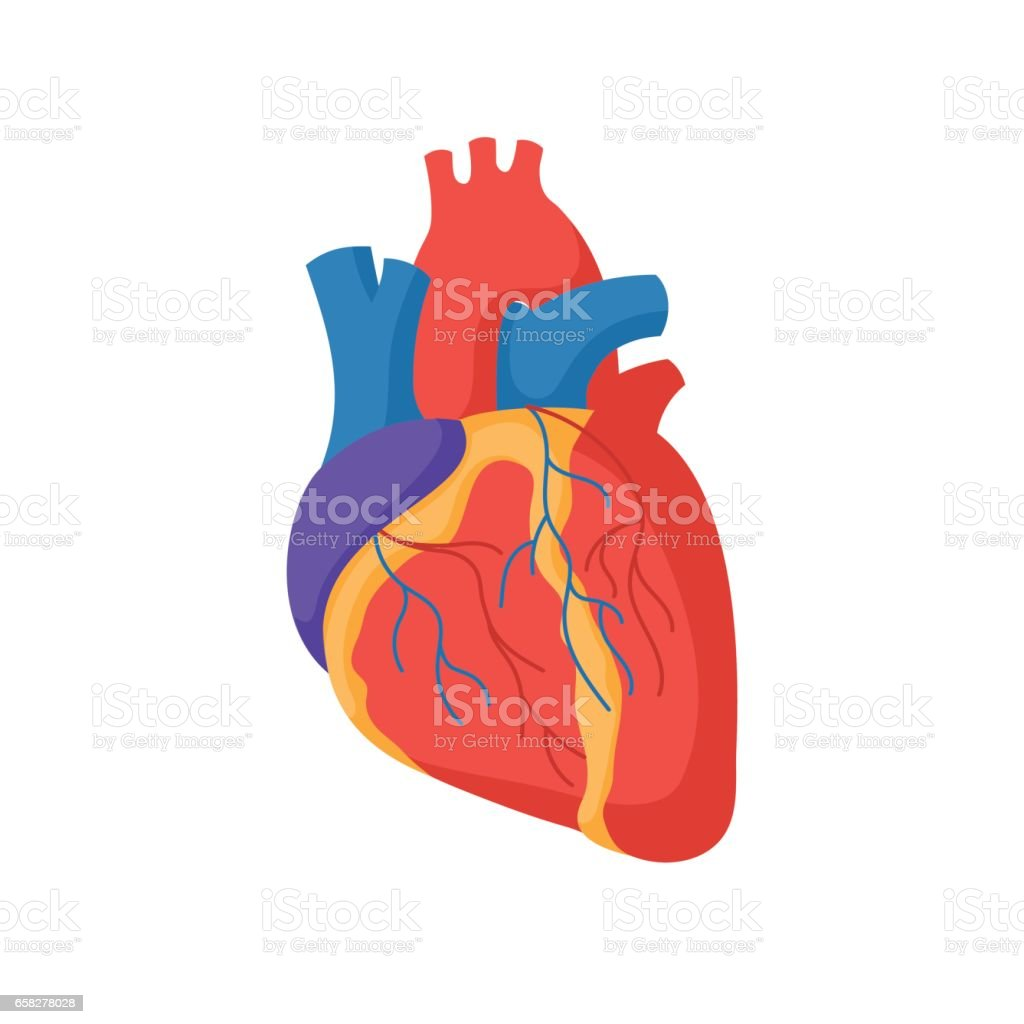 Human heart anatomy stock vector art more images of anatomical human heart anatomy royalty free human heart anatomy stock vector art amp more images ccuart Gallery