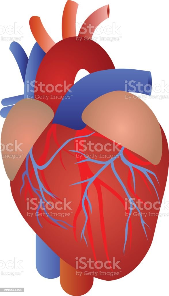 Menschliches Herz Anatomie Stock Vektor Art und mehr Bilder von ...