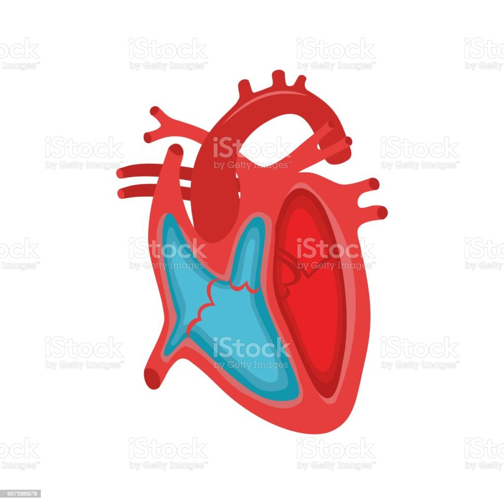 Human Heart Anatomy Stock Vector Art & More Images of Anatomical ...