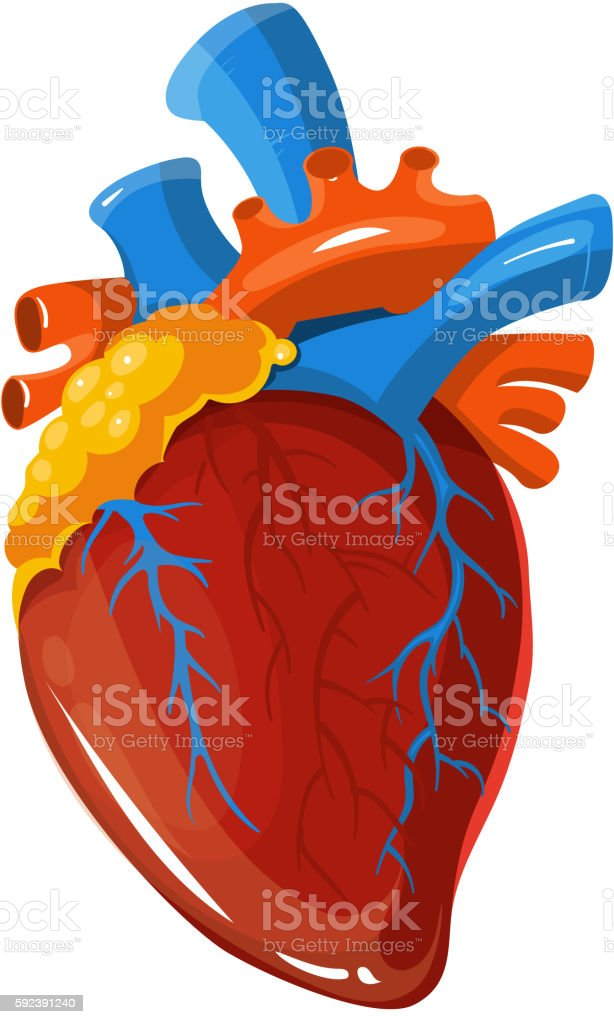 Human Heart Anatomy Vector Medical Illustration Stock Vektor Art Und