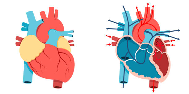 Human heart and Blood flow Vector Illustration, Human heart and Blood flow of  human heart medical illustrations stock illustrations