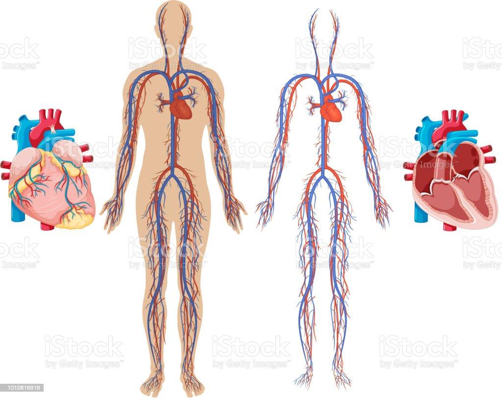 Ilustración de Corazón Humano Y Sistema Cardiovascular y más banco ...