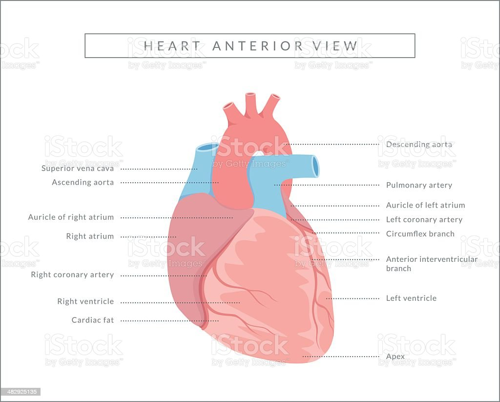 Human Heart Anterior View Stock Vector Art More Images Of Anatomy