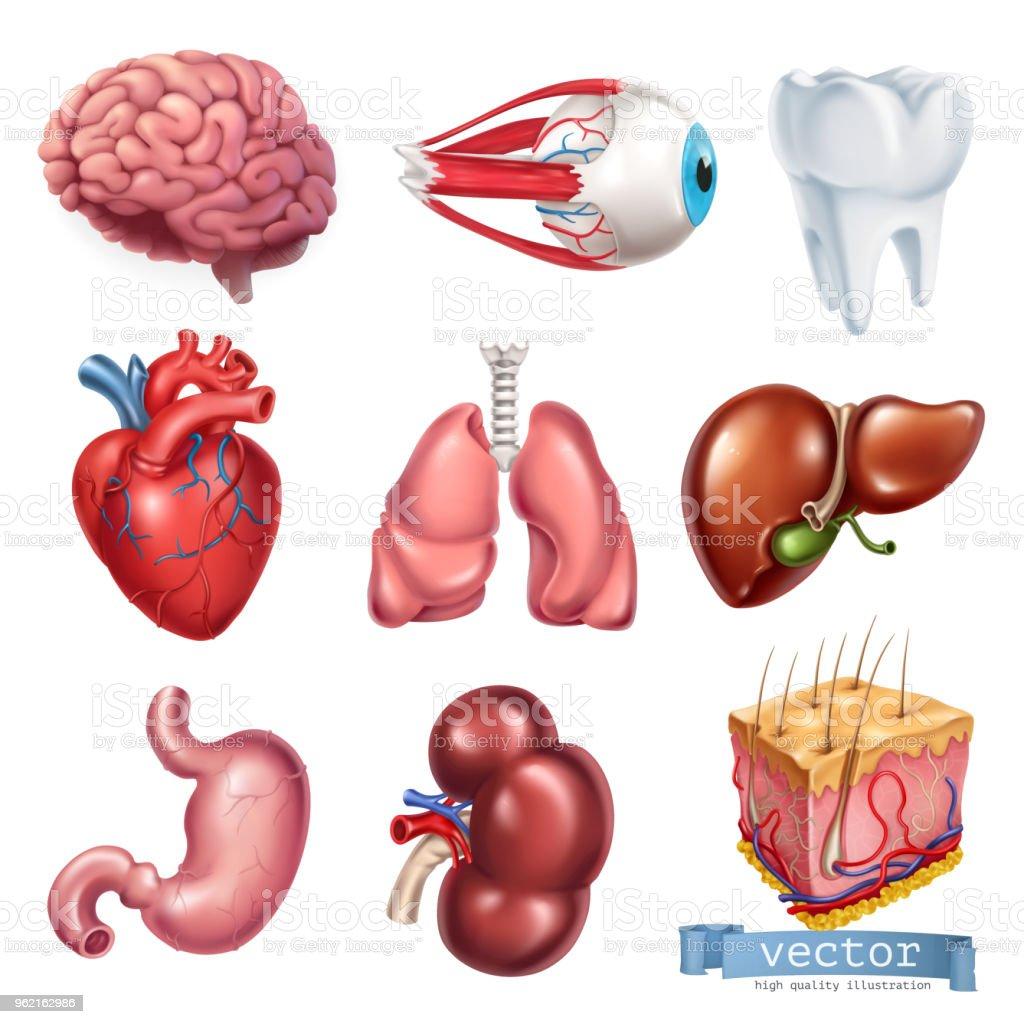 Menschliches Herz Gehirn Auge Zahn Lunge Leber Magen Niere Haut ...