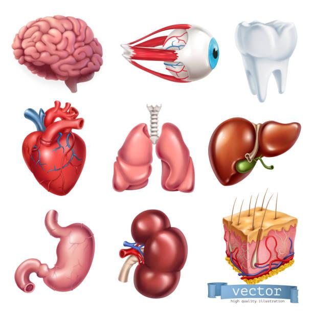 ilustraciones, imágenes clip art, dibujos animados e iconos de stock de corazón humano, cerebro, ojo, dientes, pulmones, hígado, estómago, riñón, piel. medicina, órganos internos. conjunto de iconos vectoriales 3d - órgano interno humano