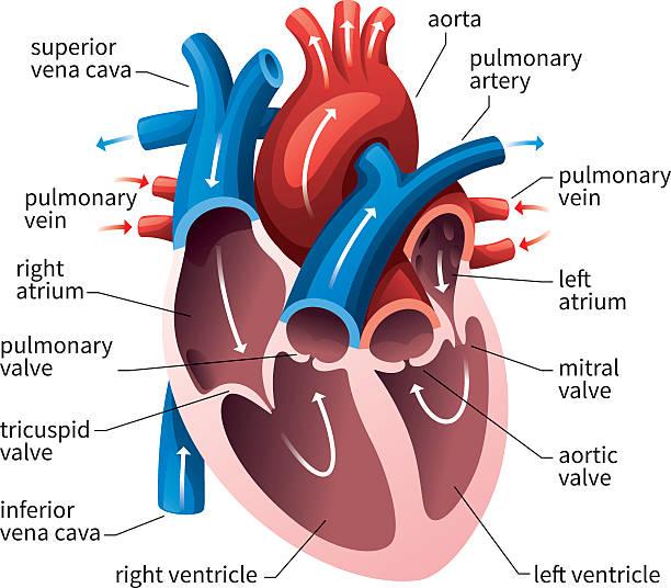 human heart circulatory system - 人體部分 幅插畫檔、美工圖案、卡通及圖標