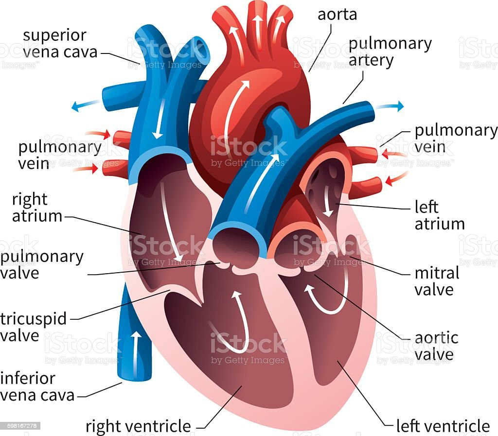 Human Heart Circulatory System vector art illustration